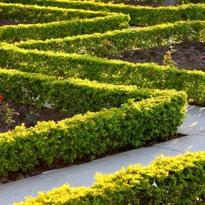Живая изгородь из акации желтой