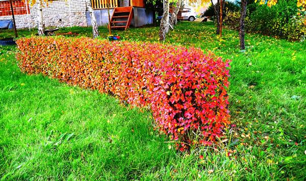 Живая изгородь из кизильника блестящего + фото