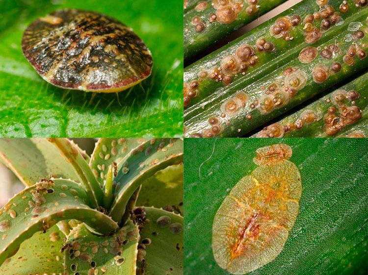 Паразиты растений - Щитовка